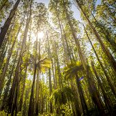 image of ash-tree  - Lush green ferns tree ferns and towering mountain ash along the Black Spur Victoria Australia - JPG