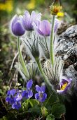 Pulsatilla Slavica And Viola Odorata Under A Rock
