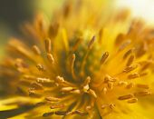 Macro Photo Of Pheasant's Eye (adonis Vernalis)