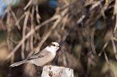 Perched Grey Jay Perisoreus Canadensis Watching