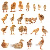 Mixed Variety Acting Of Young Yellow Chick Isolated On White Background Use For Nature And Farm Anim
