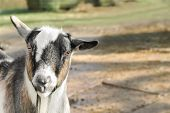 stock photo of billy goat  - goat in a farmyard with space for text - JPG