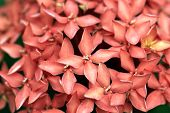 Red Ixora Or Rubiaceae