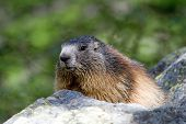 stock photo of marmot  - Alpine marmot (Marmota marmota) sunbathing in the morning