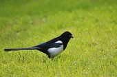 An raven on the grass