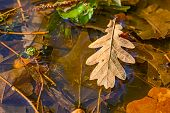 Oak Leaves In A Puddle