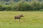 Young moose on the meadow