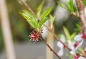 Almond Flowers After Petal Drop