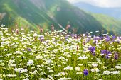 Beautiful Flowers On The Meadow In The Caucasus Mountains