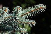 Sprig Of Blue Spruce