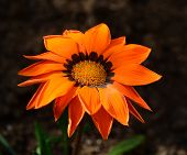 picture of mother law  - street flower grown in the flower bed near the house of my mother - JPG