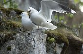 Two Gulls On Rock