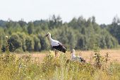 Two young White Storks on forest background