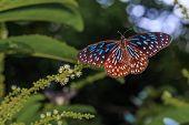 Open Wing Of Dark Blue Tiger Butterfly