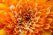 Macro Of Orange Aster Flower