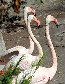 Three Flamingos Pink Colour