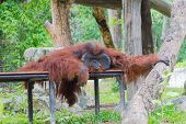 Old Orangutan Is Sitting On The Table