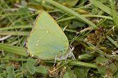 Green Hairstreak - Callophrys rubi