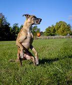 Great Dane on hind legs missing orange ball