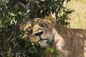 Lion sleeping in the shade