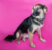 Shaggy Yellow Dog Sits On Pink