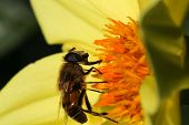 Bee Pollinating Yellow Dahlia Flower Dark Background