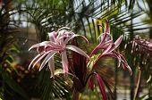 Lily, Spider (Crinum amabile)