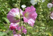 Hollyhocks blooming in perennial garden