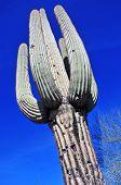 Saguaro cactus, Southwest, USA