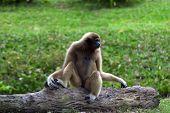 White-handed Gibbon.
