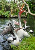Pelicans In A Pond In Natural Park