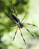 Large red-legged golden orb web spider or shortly palm spider (Nephila inaurata) seen in the Seychelles island of Praslin
