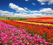 stock photo of buttercup  -  Flowers planted with broad bands of bright colors  - JPG