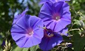 Two morning glory flowers