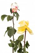 two dry roses on a white background