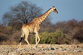 A giraffe (Giraffa camelopardalis) in natural habitat, Etosha National Park, Namibia