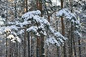 Pine Tree Branches Covered With Snow