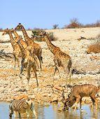 Busy waterhole in Etosha