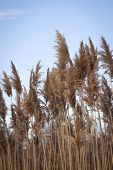image of sea oats  - Golden sea oats growing vertically with a blue sky background - JPG