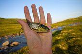 Salmon Fishing In A Polar Creek