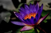 a purple lotus
