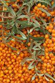 foto of sea-buckthorn  - orange  sea - JPG