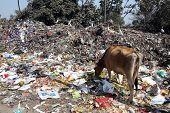 KOLKATA, INDIA - FEBRUARY 09, 2014: Streets of Kolkata. Animals in trash heap in Kolkata, India on February 09, 2014