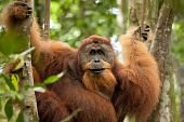pic of orangutan  - sumatran wild orangutan hanging on liana and looking at camera - JPG
