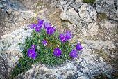 Purple Bell Flowers On Rock