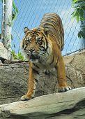 Bengel-Tiger