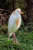 Cattle Egret Standing