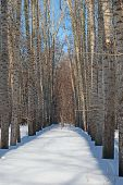 Poplar In Winter Forest