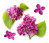 Spring flower, twig purple lilac with leaf. Syringa vulgaris.