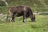 Brown Cow Ruminate In The Grass